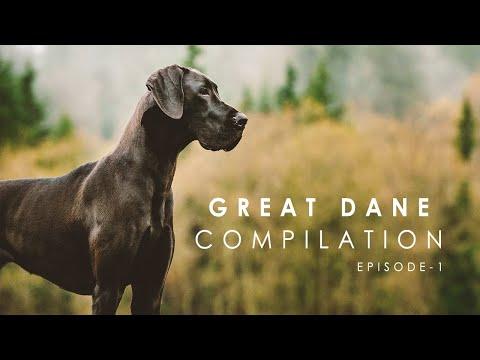 Funny Great Dane Compilation - Episode - 1