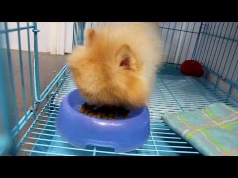新買的狗仔 松鼠 狗 bb | Doovi