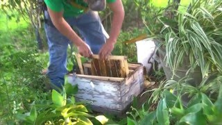 Bee Hive Removal Exposed beehive by Luis Slayton of Bee strong Honey