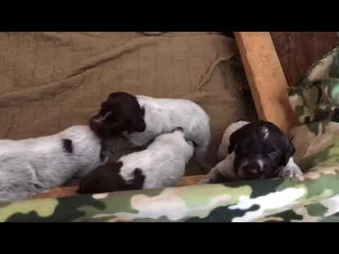 Ruffled Feathers Kennel Christmas 2017 Male Puppies