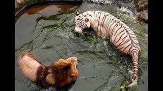 LEÃO VS TIGRE - QUEM VENCEU ESSA BATALHA ÉPICA? LION VS TIGER