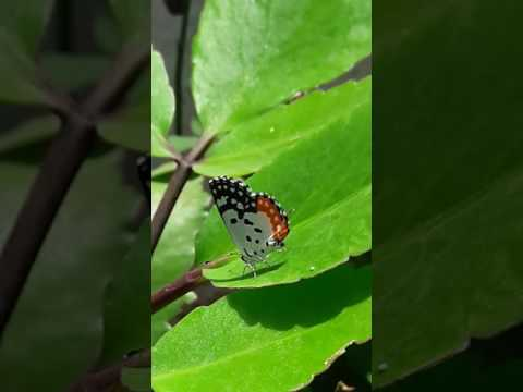 Red Pierrot Butterfly Laying Eggs on  Kalanchoe pinnata.