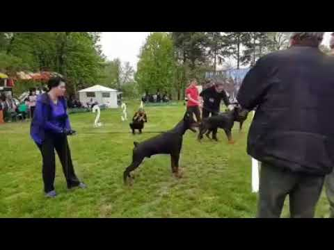 Doberman show Russia | true  European Doberman