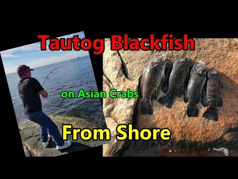 Blackfish Tautog From Shore On Asian Crabs