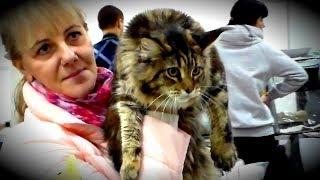 МЕЙН КУН - Король Домашних Кошек и Заботливая Нянька | ПОРОДЫ КОШЕК