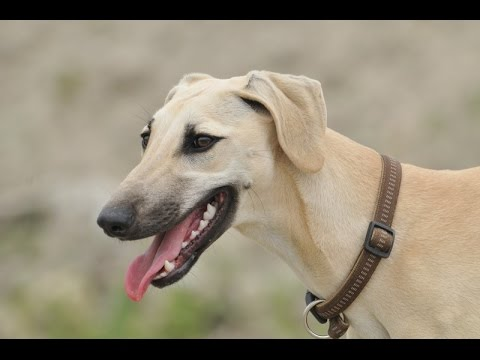 Arabian Greyhound (Sloughi) - Dog Breed