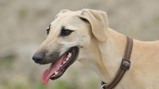 Arabian Greyhound (Sloughi)