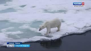 видео: На Новой земле из-за нашествия белых медведей ввели режим ЧС