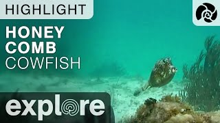 Honey Comb Cowfish - Cayman Reef Live Cam Highlight thumbnail