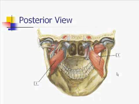 Muscles Of Mastication Youtube