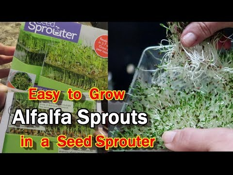 Sprouting Alfalfa in a Two-Tiered Seed Sprouter
