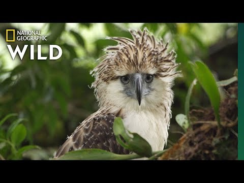 Watch an Endangered Philippine Eagle Chick Grow Up in Rare Video | Nat Geo Wild