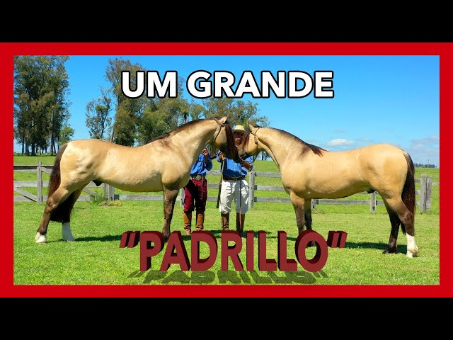 [GARANHÃO] TAÑIDO CANTA GALLO