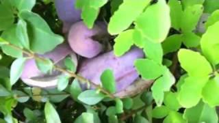 Purple Fruit Bearing Climbing Vine 1