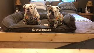 Eggnog The Bulldog shows off her custom Halloween decorated dog house