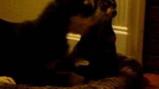 Afghan Hound And Min Pins Playing, Dogs, Miniature Pinschers, Puppies,