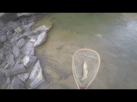 Central Maryland Wild Brown Trout - Winter Dry Fly