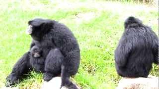 Siamang apes go wild - Dubbo Zoo