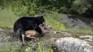 Bear Kills Moose