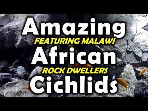 Amazing African Cichlids