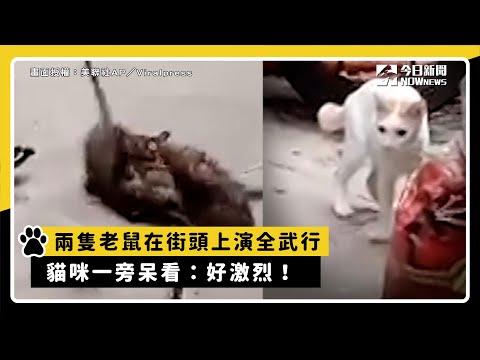 兩隻老鼠在街頭上演全武行 貓咪一旁呆看:好激烈!
