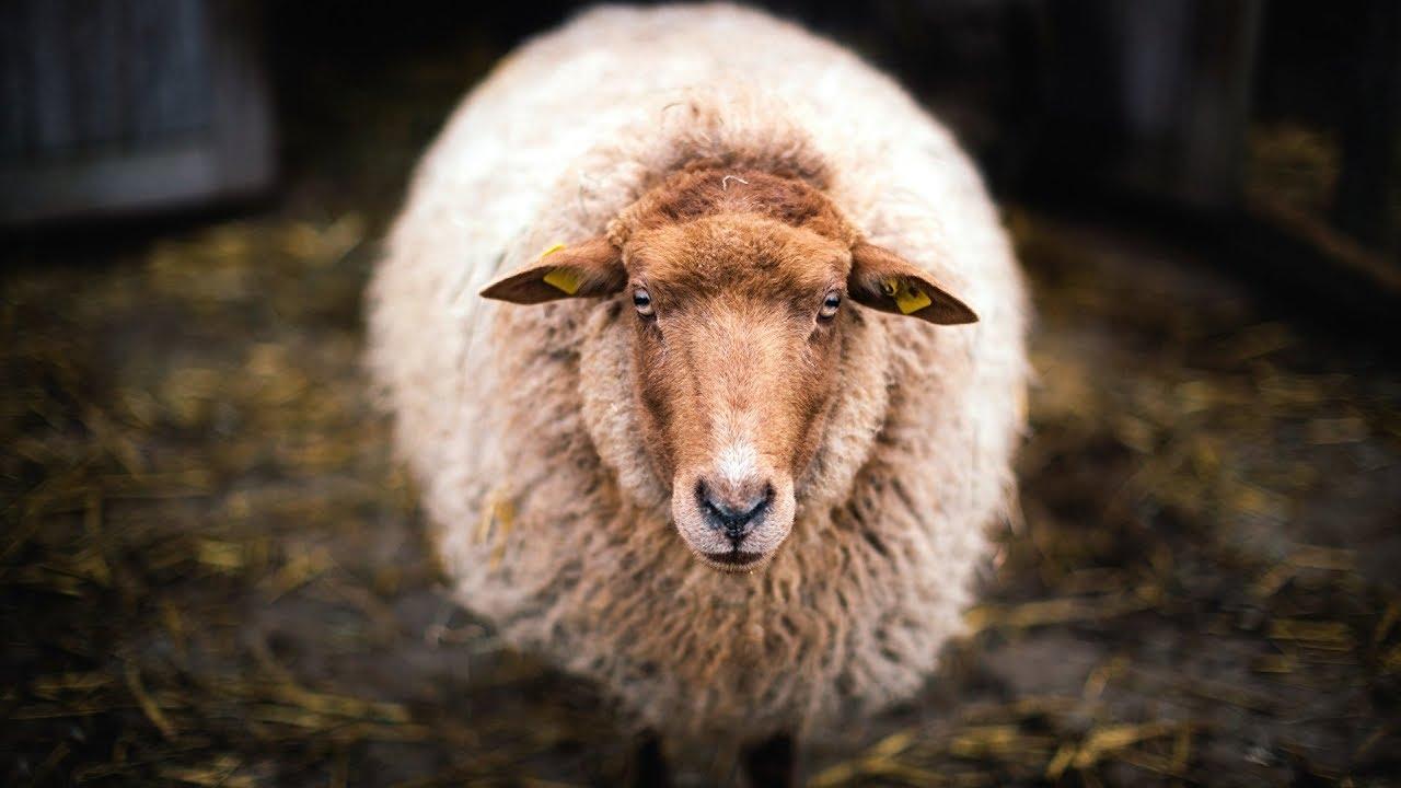 Разведение овец как бизнес | Овцеводство