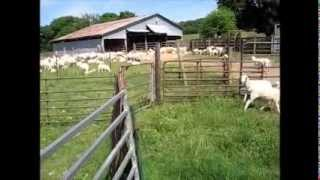 Tagging, Worming and Banding Lambs