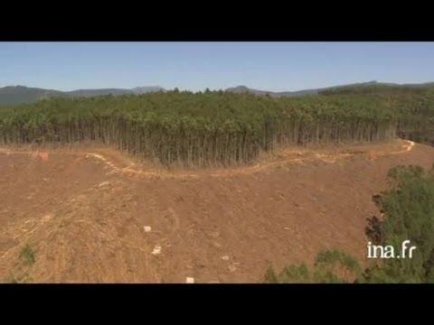 Afrique du Sud : plantation d'eucalyptus
