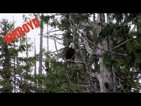 Bald Eagle Ketchikan Alaska