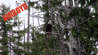 Bald Eagle Ketchikan Alaska