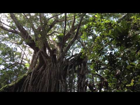 Curtain Fig Tree, Atherton Tablelands, Qld