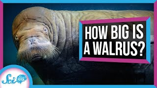 Why You Don't Really Know the Size of a Walrus