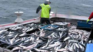 mackerel fishing near Port Hood aboard....itsnowornevertunacharters