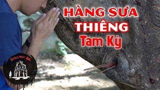 Gambar cover Hàng Sưa nhựa đỏ như M.ÁU ở Tam Kỳ - Quảng Nam