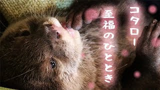 Otter Kotaro is entranced