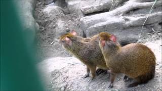 Агути и морковь. Central American agouti (Dasyprocta punctata) Nikolaev Zoo