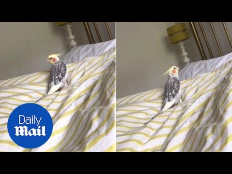 Parrot Can Whistle The Addams Family Theme Tune - Daily Mail