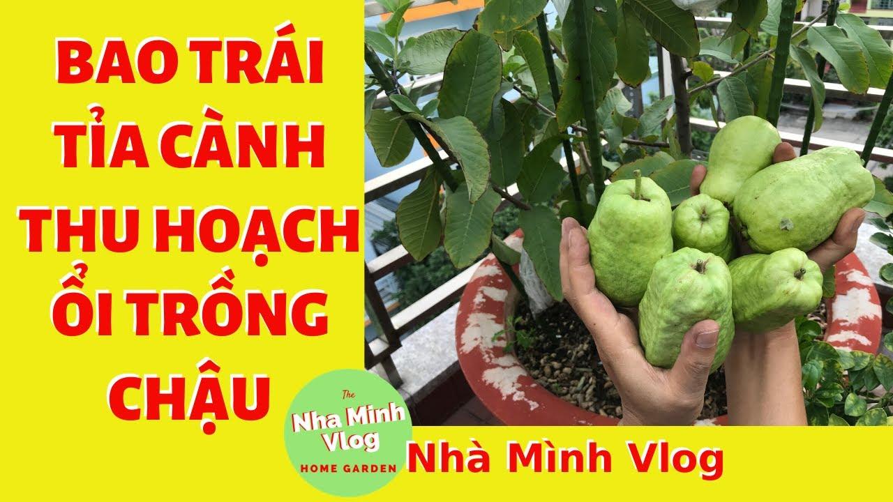 Bao trái - Tỉa cành - Thu hoạch trái Ổi TRỒNG CHẬU @Nha Minh Vlog
