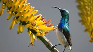 White-bellied Sunbird Song