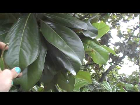 Simple Uses For The Magnolia Tree Youtube