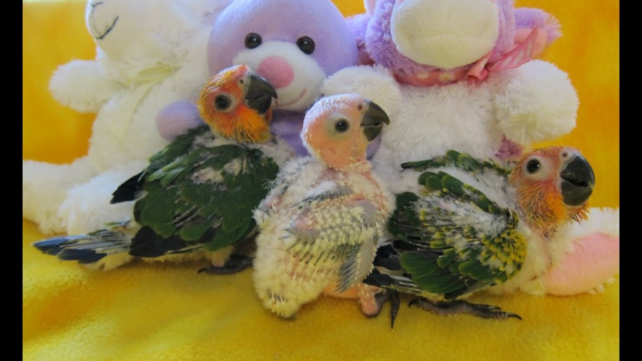 4 5 Week Old Sunday Conures Youtube