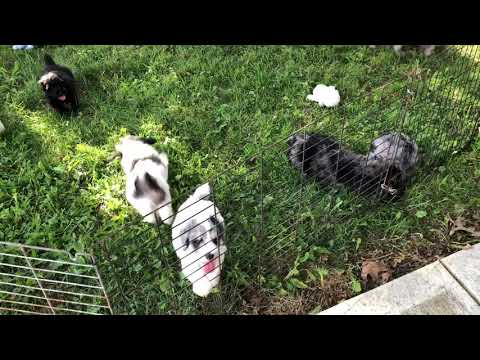 Ivy's schnoodle puppies 7/2/19