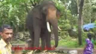 Thechikottukavu Ramachandran in musth