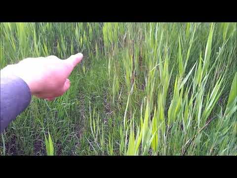 Выращивание батата в диком огороде. Выбор места.