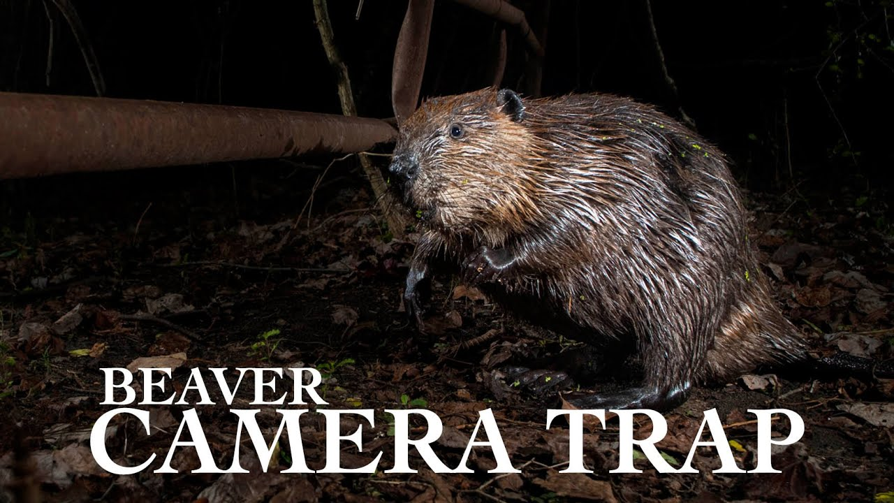 DSLR Camera Trapping   Beaver   Wildlife Photography