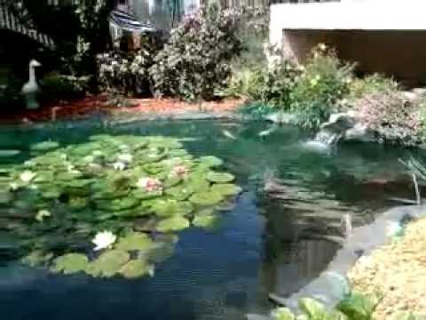 Le ko ou carpe ko le bassin de jardin de popeye du 68 youtube - Bassin japonais dessin dijon ...