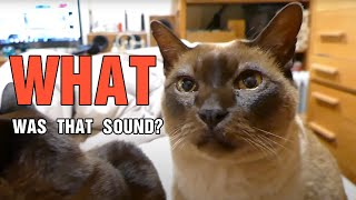 Showing Cat Videos to Tonkinese and Burmese cats