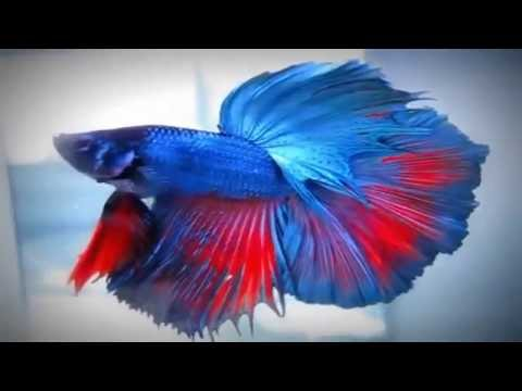 Top 50 most beautiful colorful betta fish in the world for Betta fish colors