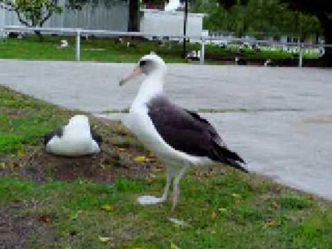 歩くコアホウドリ Laysan Albatross