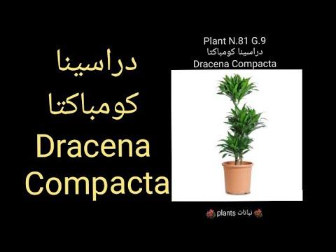 دراسينا كومباكتا Dracena Compacta Youtube